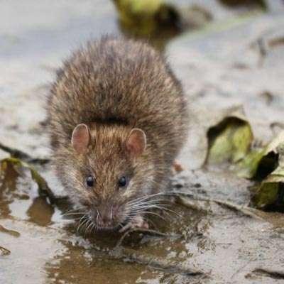 Rat & Rodent Problems London